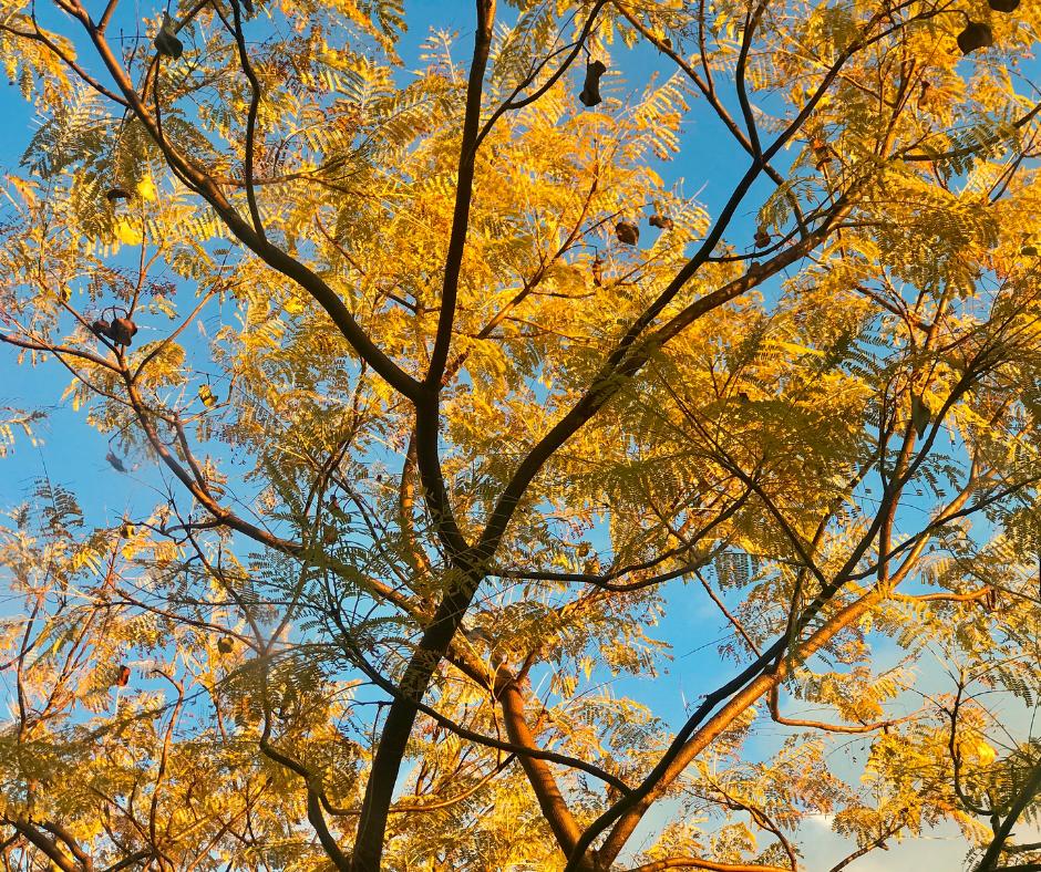A jacaranda tree in winter