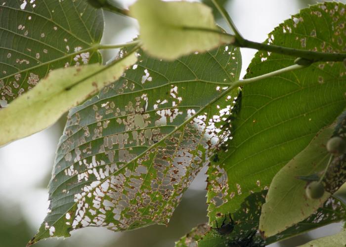 Elm leaf beetle damage